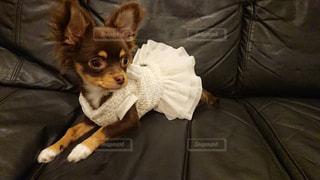 ベッドに横たわる小さな茶色と白い犬の写真・画像素材[2314036]