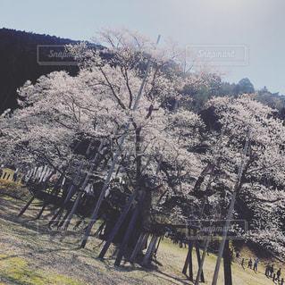 自然,風景,空,花,桜,屋外,景色,樹木,日本,フィルム,有名,草木,記念,日中,フィルム写真,樹齢,エリア,フィルムフォト