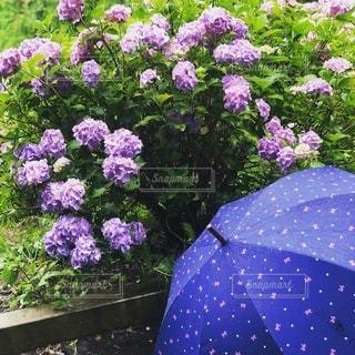 ドットな傘の写真・画像素材[2477543]
