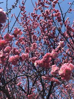 木の上のピンクの花のグループの写真・画像素材[3021947]