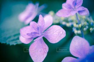 風景,花,春,お花畑,雨,あじさい,水,水滴,景色,お花,紫陽花,水玉,日本,雫,野外,一眼レフ,しずく,室外