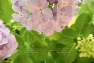 花,お花畑,雨,あじさい,水,水滴,お花,紫陽花,水玉,日本,雫,野外,一眼レフ,しずく,室外