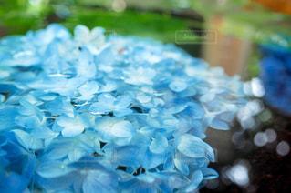 風景,花,お花畑,雨,あじさい,水,水滴,水面,景色,お花,紫陽花,水玉,日本,雫,野外,一眼レフ,しずく,室外