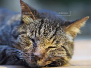 猫の写真・画像素材[239108]