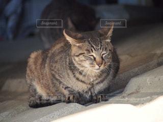 猫の写真・画像素材[239110]