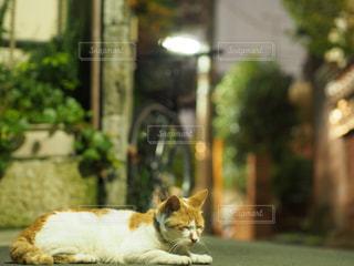 猫の写真・画像素材[239112]