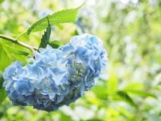 青,紫陽花,梅雨,6月,雨模様