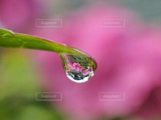 紫陽花の季節の写真・画像素材[1240411]
