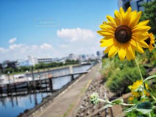 向日葵の写真・画像素材[1370275]