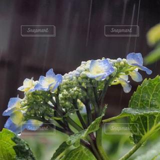 花,雨,紫陽花,梅雨,blue,草木,雨の日