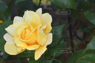 花,水,黄色,水滴,バラ,薔薇,外,雫