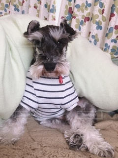犬,動物,屋内,白,かわいい,黒,ペット,グレー,ミニチュアシュナウザー,シュナウザー