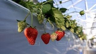 食べ物,果物,ベリー,いちご狩り,イチゴ