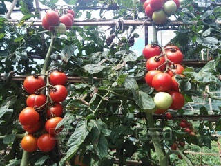食べ物,トマト,野菜,食品,食材,夏野菜,フレッシュ,生野菜,ベジタブル,食べ頃,フレッシュ野菜