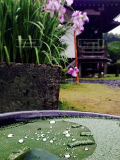 自然,花,植物,水,水滴,蓮,雨上がり,梅雨,蓮の葉,三室戸寺,あじさい寺