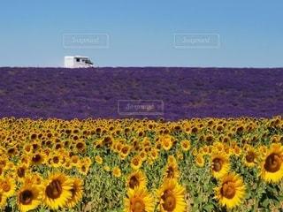 ひまわり畑とラベンダー畑の写真・画像素材[3501531]
