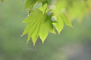 自然,雨,緑,植物,水,水滴,葉,樹木,楓,雨上がり,雫,玉ボケ,しずく,雨粒,草木,カエデ