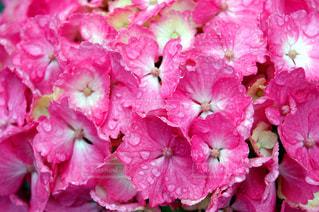 花,雨,ピンク,水滴,紫陽花,クローズアップ,雨の日