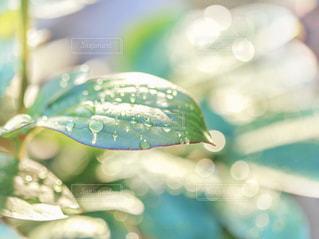 雨上がりの葉の雫の写真・画像素材[2107230]