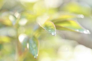 葉についた雨の雫の写真・画像素材[2107445]