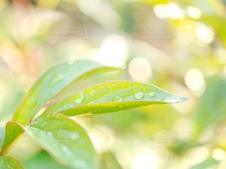 葉の雫の写真・画像素材[2107453]