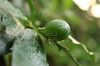 雨上がりの金柑の写真・画像素材[2107499]