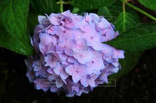 雨の日の紫陽花の写真・画像素材[2108325]