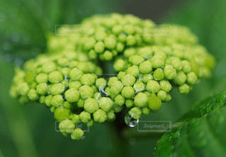 雨,緑,水滴,蕾,雨上がり,雫,みどり,色,紫陽花の蕾