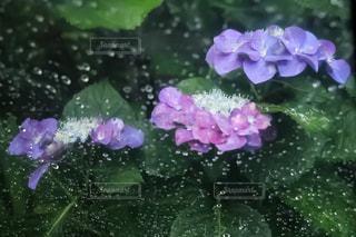 花,雨,紫,紫陽花,雫,梅雨,ガクアジサイ,色,雨の日,豪雨,ガク紫陽花