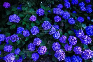 花,植物,満開,紫陽花,アジサイ,梅雨時期