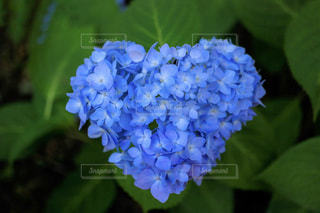 ハートの紫陽花の写真・画像素材[2263775]
