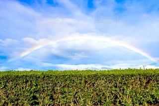 お茶畑と虹の写真・画像素材[2508699]