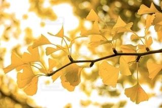 イチョウの葉の写真・画像素材[2514302]