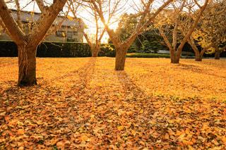 空,秋,冬,夕日,木,屋外,太陽,夕暮れ,葉,木漏れ日,光,落ち葉,樹木,イチョウ,銀杏,夕陽,黄葉,木の影