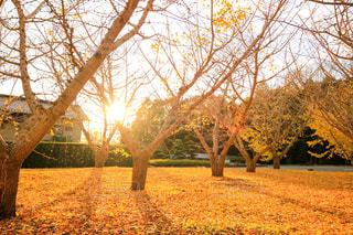空,秋,冬,夕日,木,屋外,太陽,葉,木漏れ日,光,落ち葉,樹木,イチョウ,銀杏,夕陽,木の影,黄色い絨毯,落ち葉の絨毯