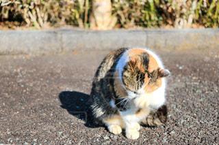 猫,動物,屋外,野良猫,生き物,三毛猫,ネコ,生きもの,顔を洗う