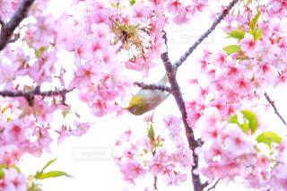 花,春,桜,緑,景色,サクラ,満開,野鳥,メジロ,小鳥,目白,さくら,めじろ,ブロッサム