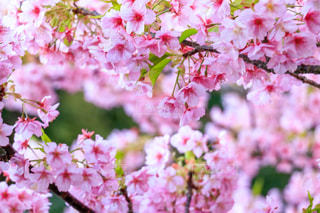 風景,花,春,桜,ピンク,景色,サクラ,桜の花,さくら,ブロッサム