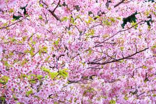花,春,桜,屋外,ピンク,サクラ,満開,河津桜,桜の花,さくら,ブロッサム