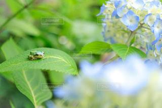 カエルと紫陽花の写真・画像素材[3377927]
