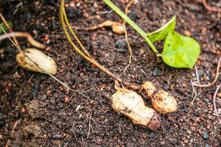 食べ物,野菜,食品,地面,家庭菜園,新鮮,食材,採れたて,フレッシュ,ベジタブル,落花生,とれたて野菜,採れたて野菜,らっかせい,落花生の葉