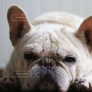 カメラを見ている茶色と白の犬の写真・画像素材[2709057]