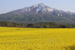 菜の花畑と大きな山の写真・画像素材[2262627]