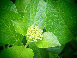 雨,あじさい,葉っぱ,水滴,葉,紫陽花,露,蕾,雫,梅雨,雨の日