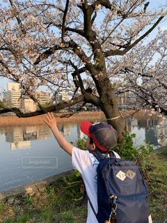 桜,後ろ姿,帽子,夕方,休日,男の子,自然光,手を伸ばす