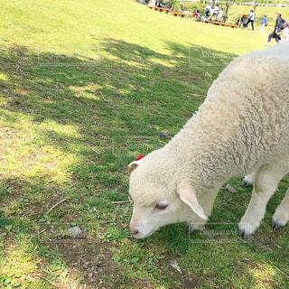 緑豊かな野原の上に立っている羊の写真・画像素材[2096308]