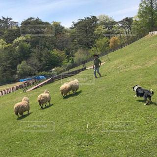 緑豊かな野原に放牧する羊の群れの写真・画像素材[2096309]