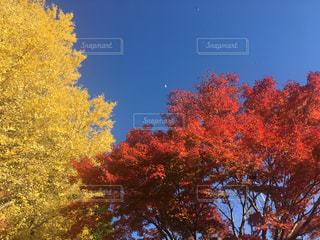 秋の三色の写真・画像素材[2543432]