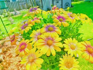 黄色と紫色のデイジーの写真・画像素材[2128390]