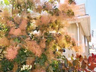 American smoke treeの写真・画像素材[2287227]